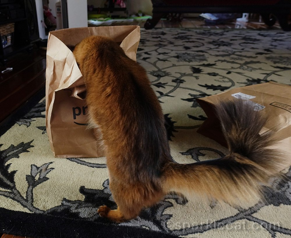 somali cat digging into bag for treat