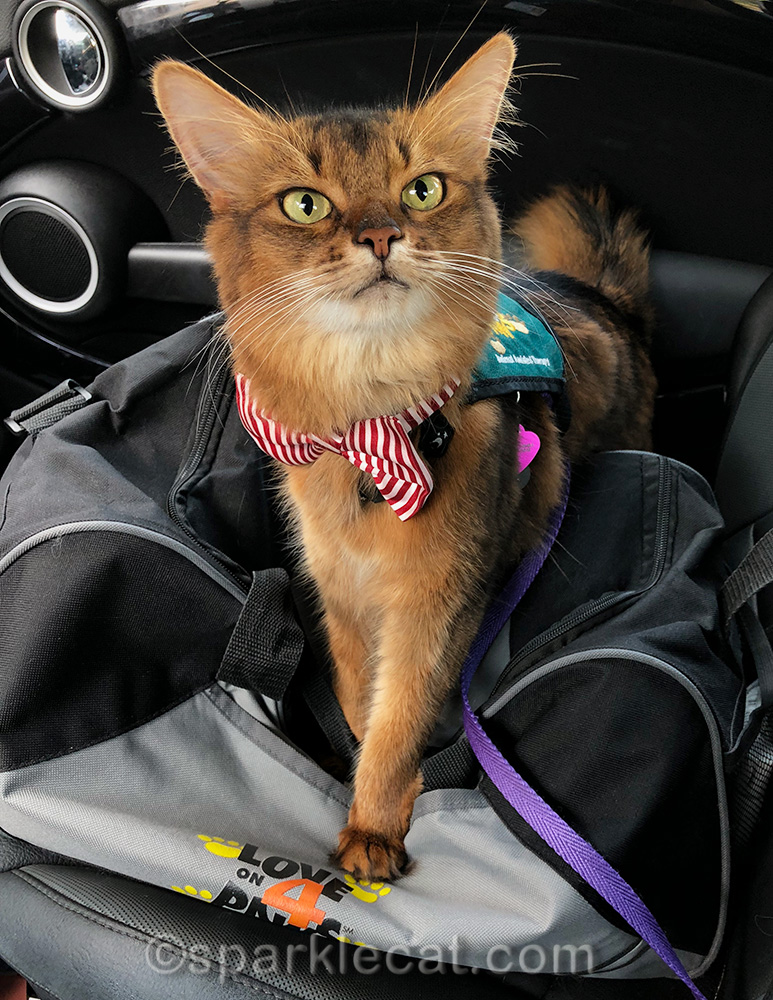 therapy cat back in action at St. Vincent hospital