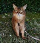 somali cat on a summer evening stroll