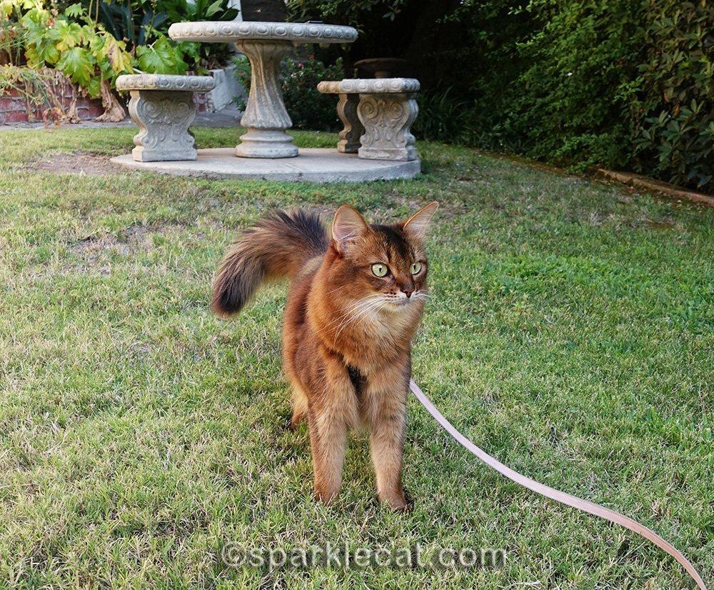 somali cat on leash in front yard