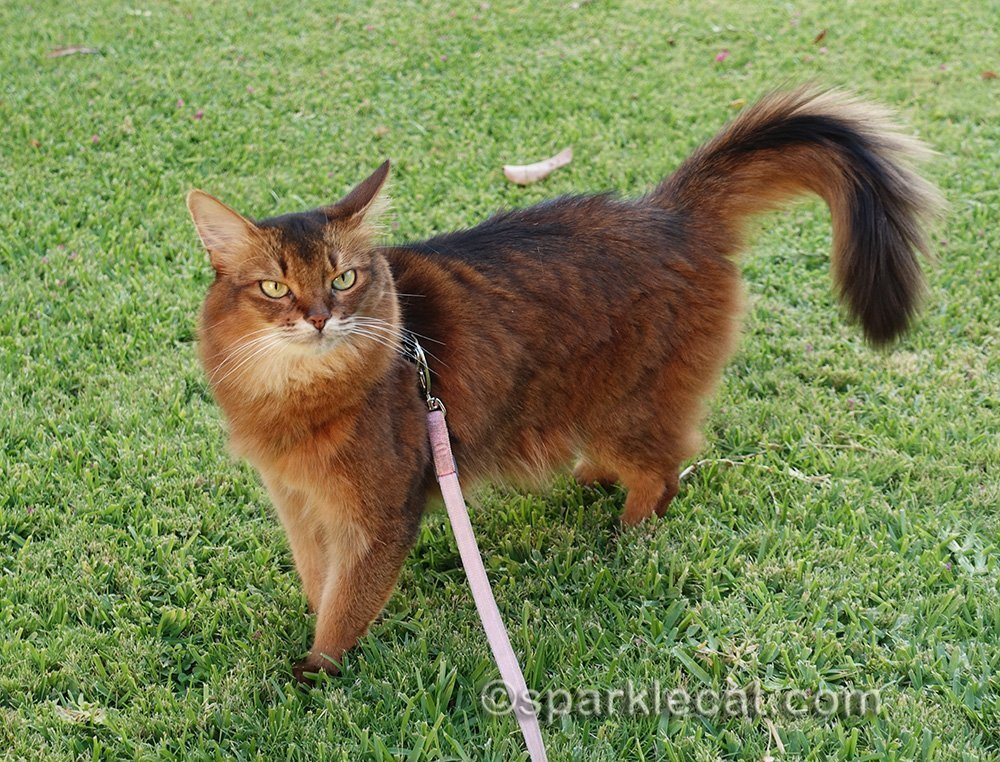 somali cat not wanting to back inside