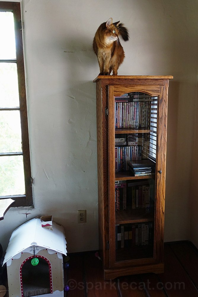somali cat on top of tall book case