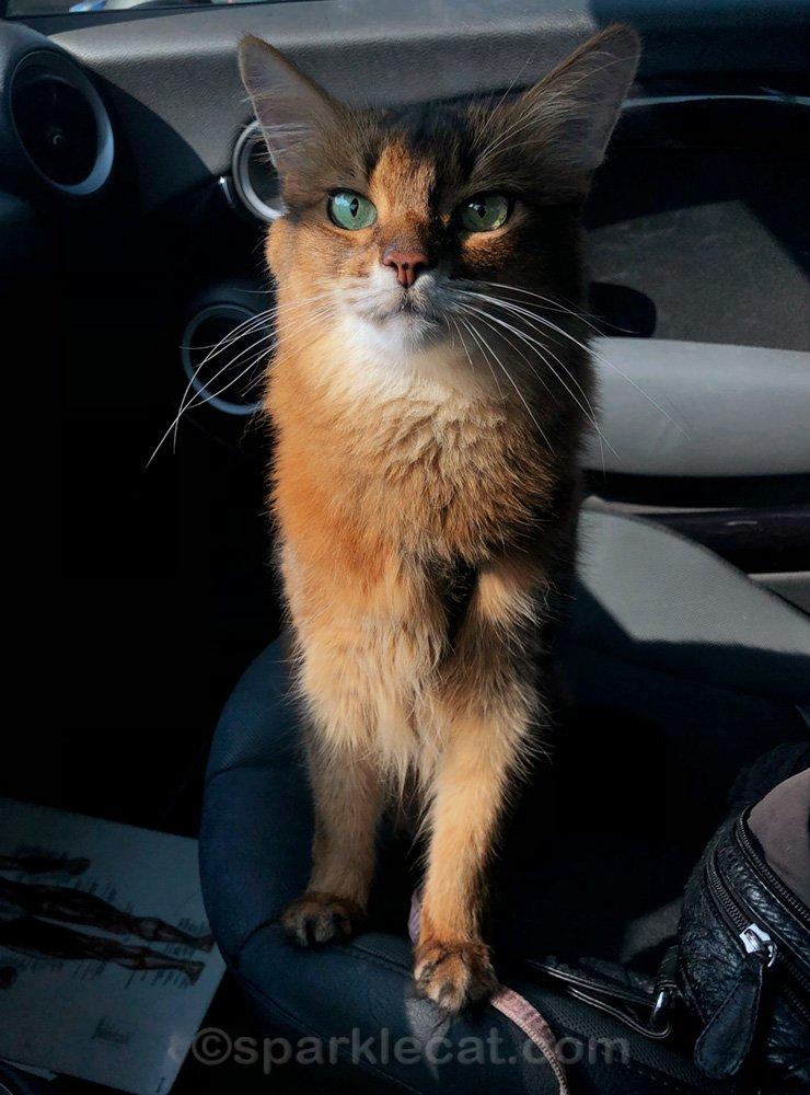 Somali cat in car outside of pet shop