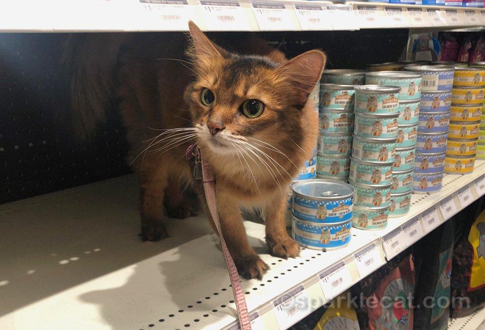 Somali cat on cat food shelf