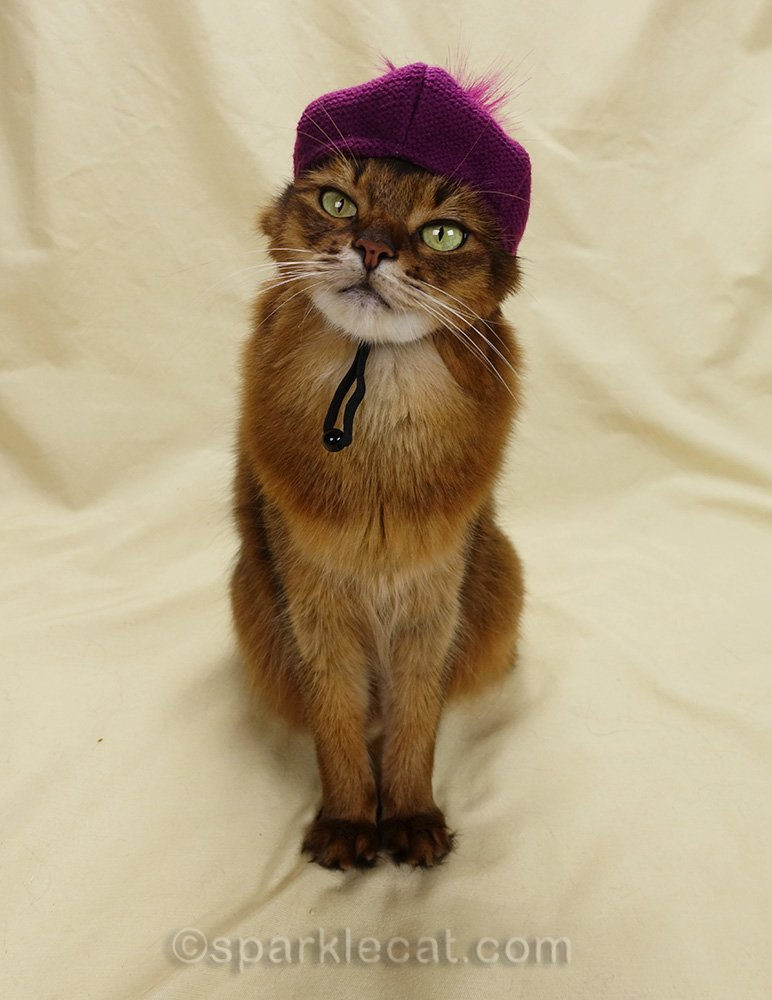 somali cat with raspberry beret