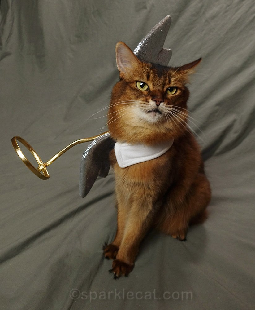 somali cat in angel cat costume that is askew