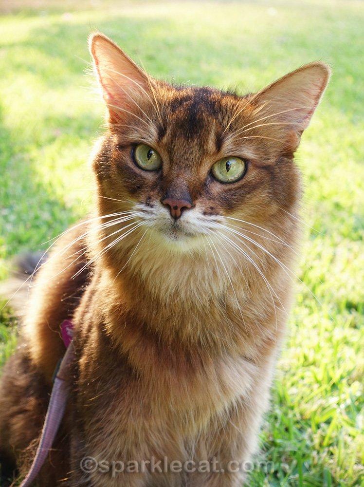 Pretty close up of Somali cat