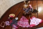 somali cat with cat show wardrobe