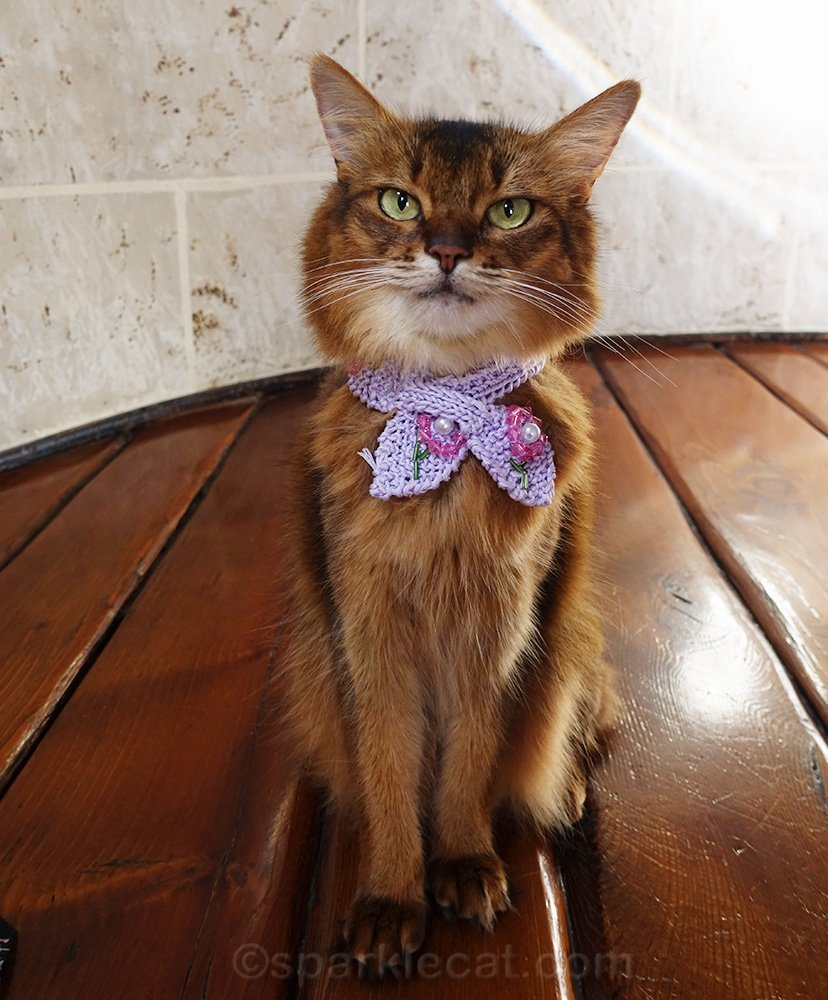 Somali cat wearing cute knit scarf