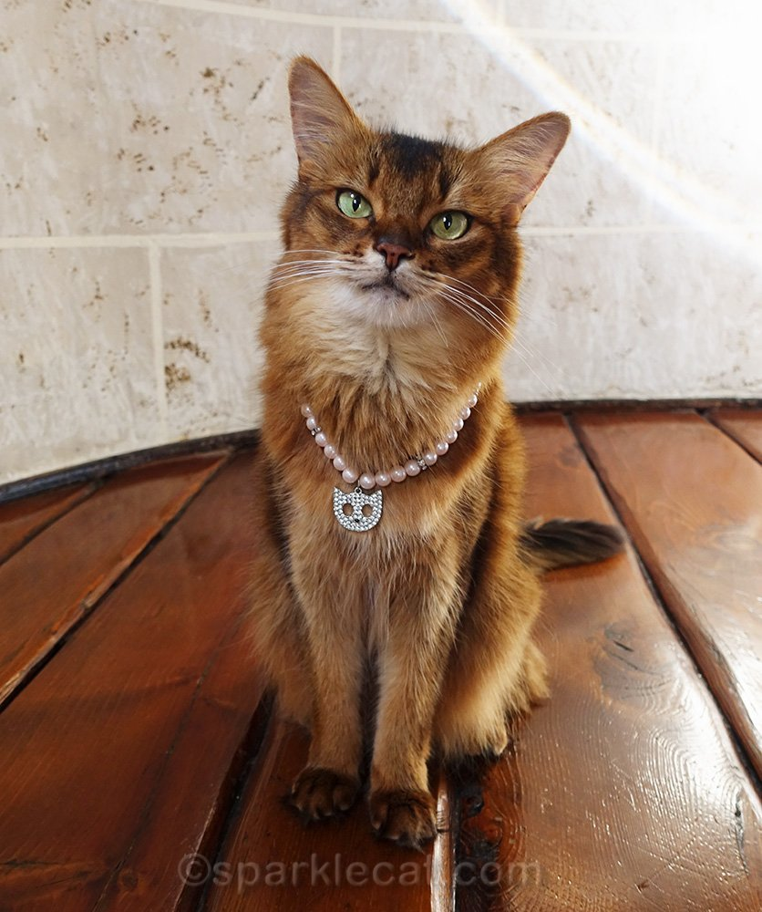 somali cat wearing cat necklace