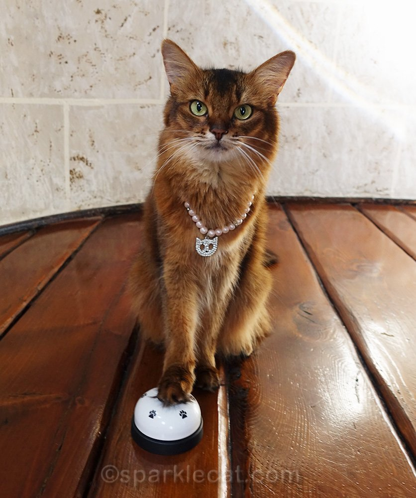 somali cat with desk bell