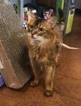 somali cat in pet store on leash