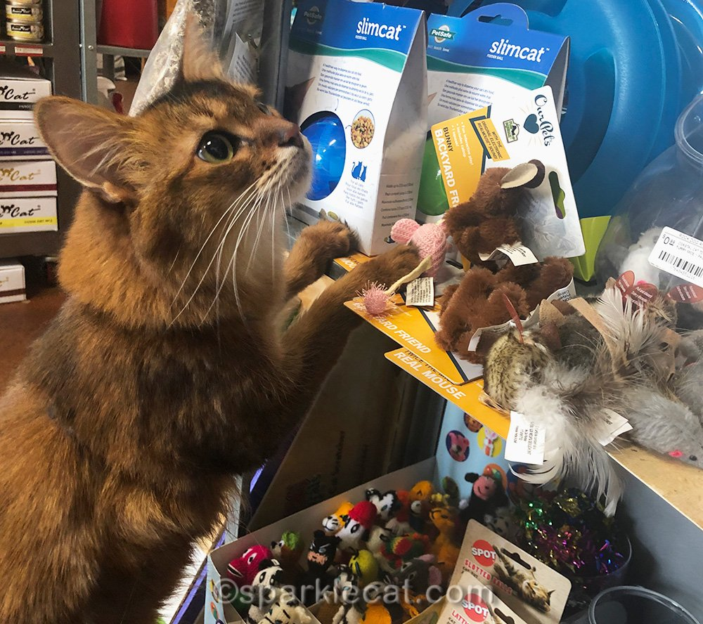 somali cat in toy section of store