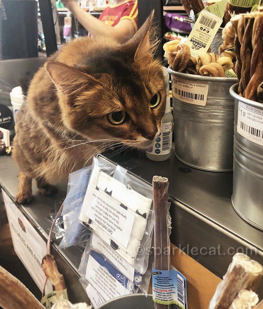 somali cat at pet store checkout counter