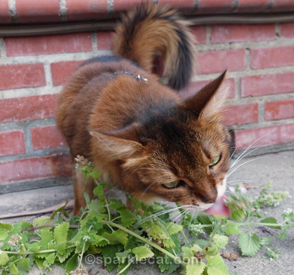 Somali cat licking a pile of fresh catnip