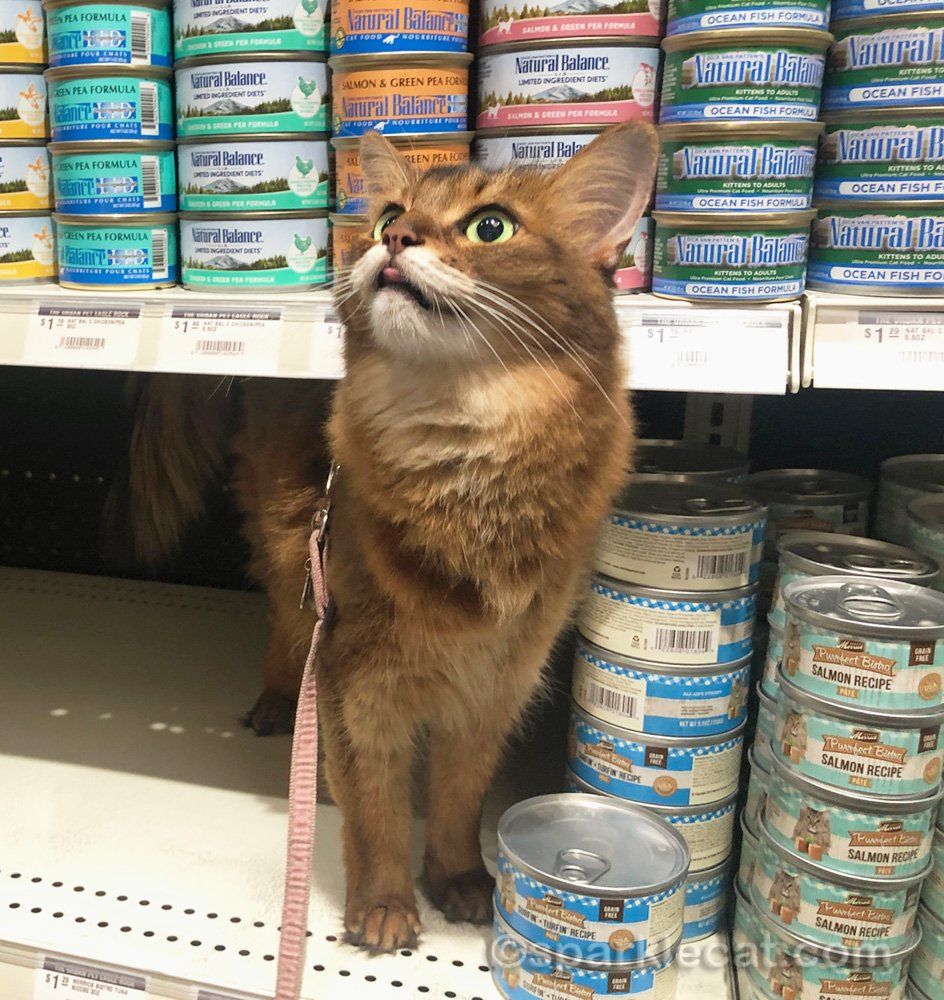 Somali cat on cat food shelf at pet store, sticking out tongue