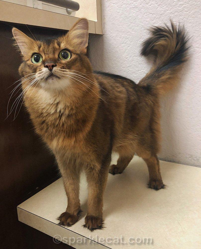 somali cat in veterinary clinic exam room