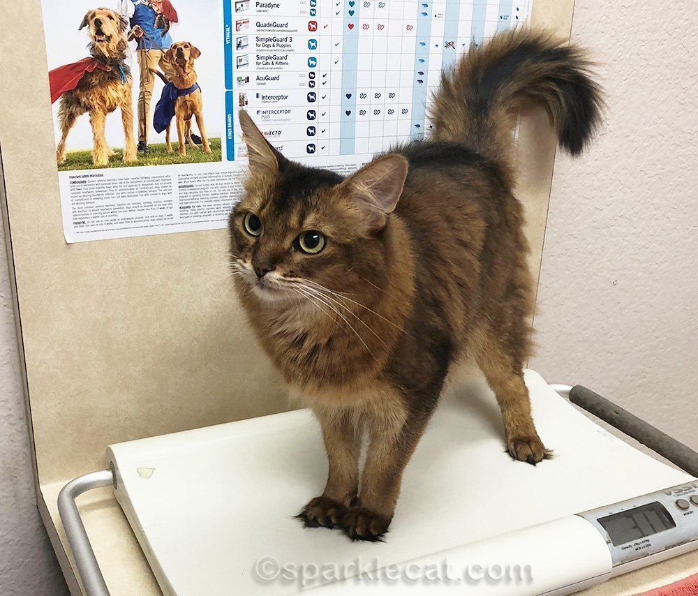 somali cat on scale at vet clinic