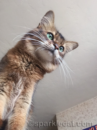 somali cat looking out from bed frame