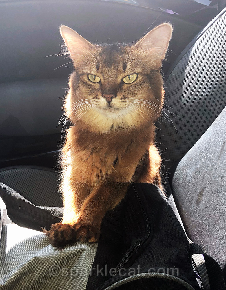 somali cat ready to spread therapy cat magic at white memorial hospital