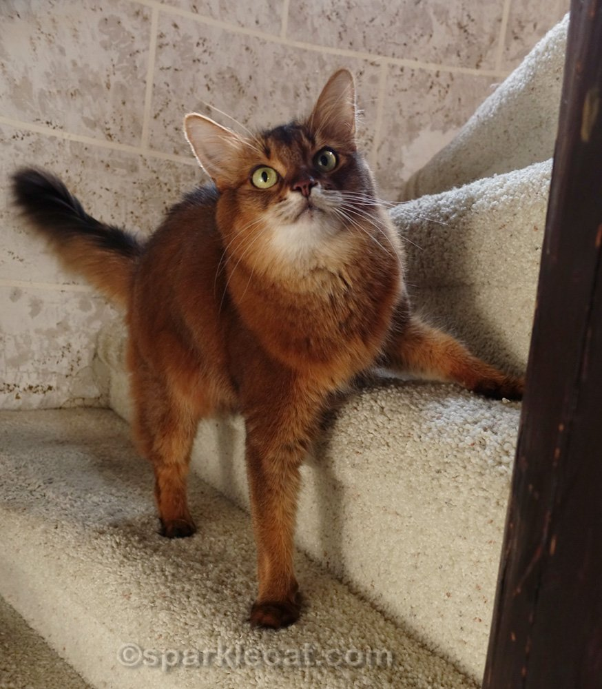 Lively Somali cat on stairs