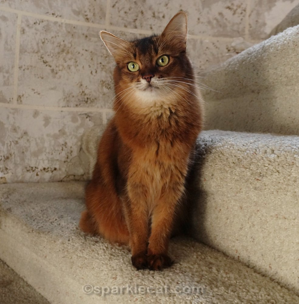 Somali cat posing on turret stairs