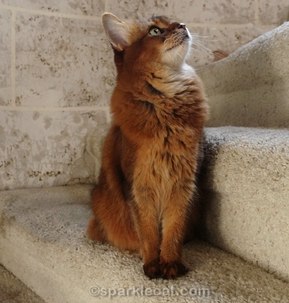 Somali cat looking up stairs