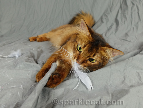 Somali cat playing with a silver feather