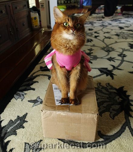 somali cat in dress sitting on a box
