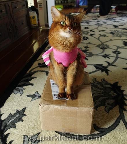somali cat in dress sitting on a box