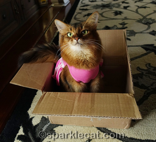 somali cat in dress sitting in box