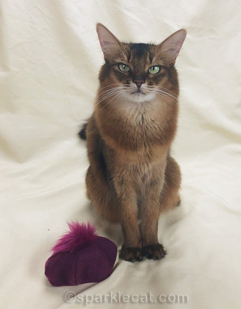 somali cat with raspberry beret sitting next to her