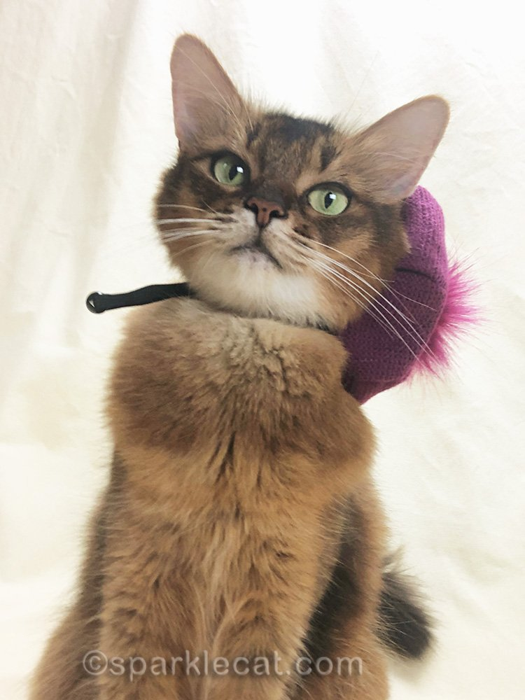somali cat with raspberry beret askew
