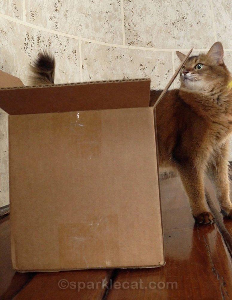 Somali cat looking at box