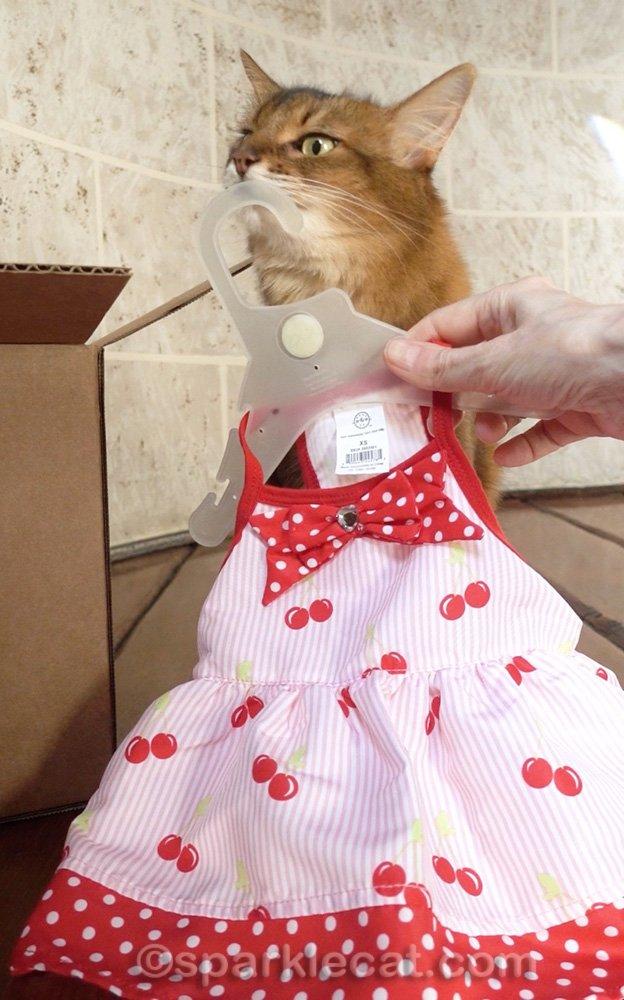 Somali cat rubbing on cat dress hanger