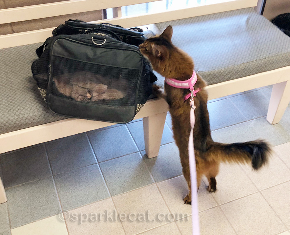 somali cat looks at old carrier