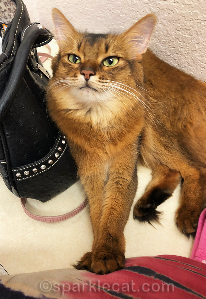 somali cat in exam room, happy to be going home