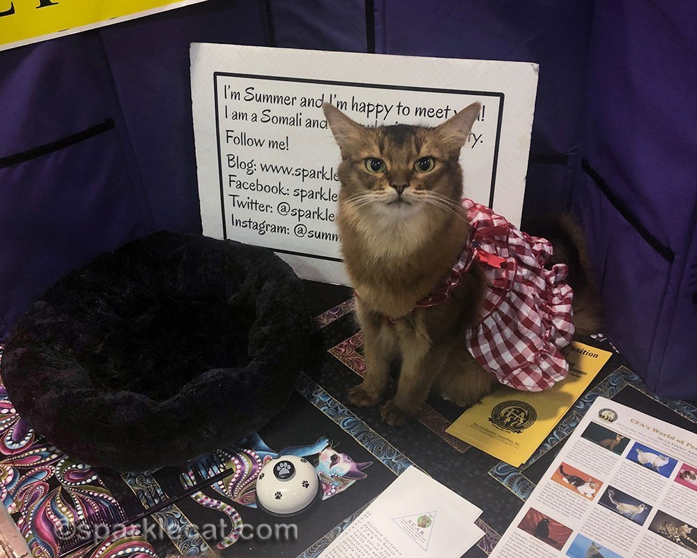 somali cat working the cat show in a gingham dress