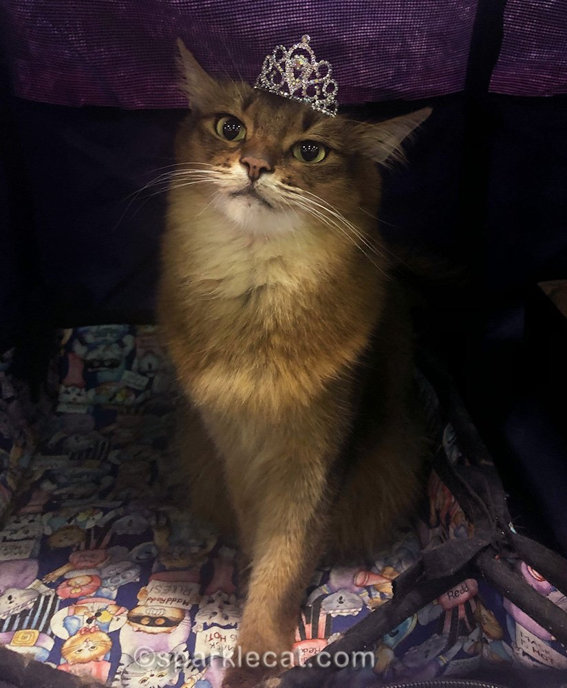 somali cat wearing her tiara