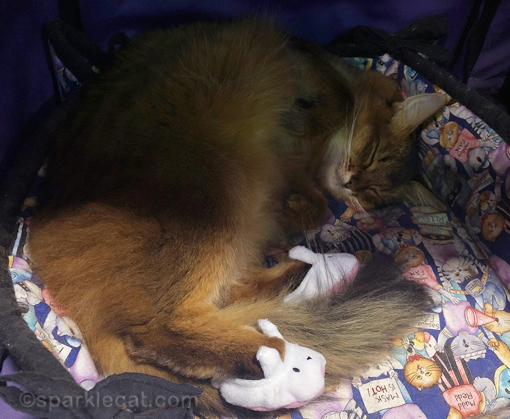 somali cat napping wearing bunny slippers