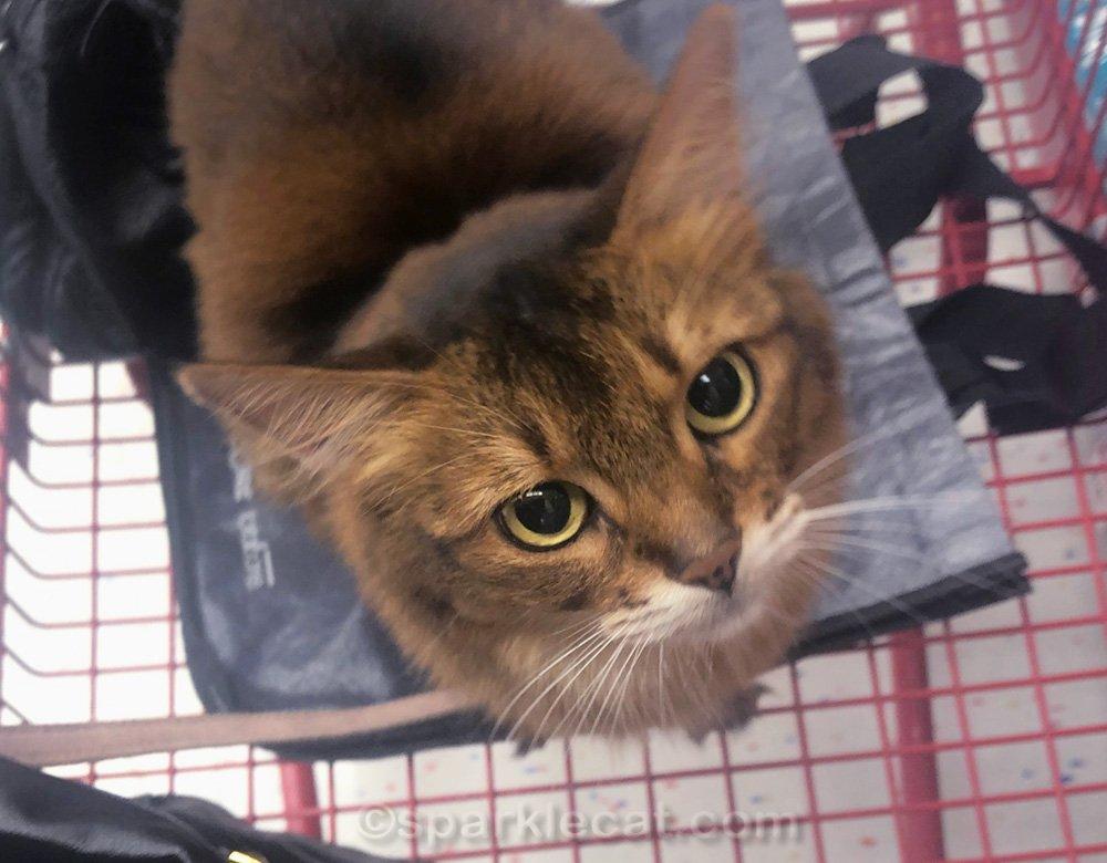 Somali cat in big Staples shopping cart at pet store