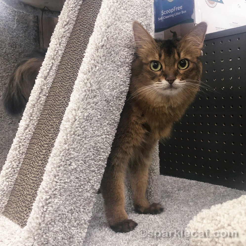 Somali cat looking out from cat tree at pet store