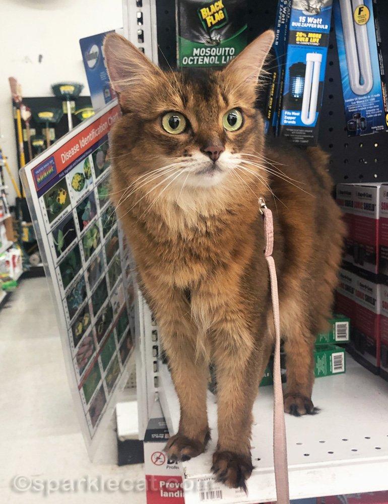Somali cat looking around at Virgil's hardware store