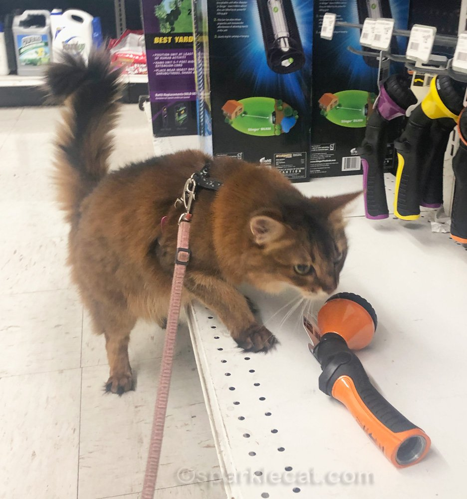 Somali cat checking out hose nozzle