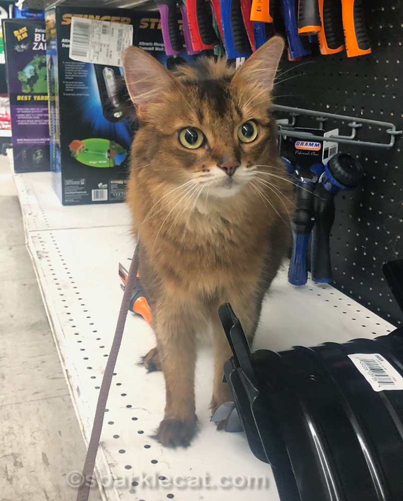 Somali cat a little puzzled at hardware store