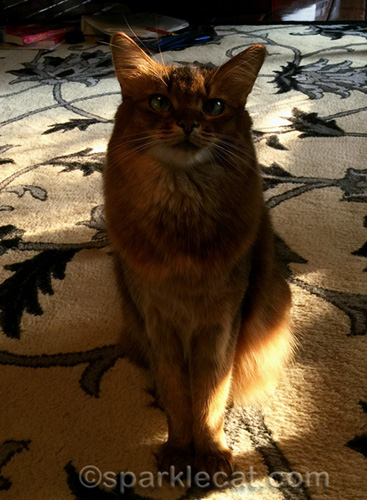 somali cat in shadow with sun behind her