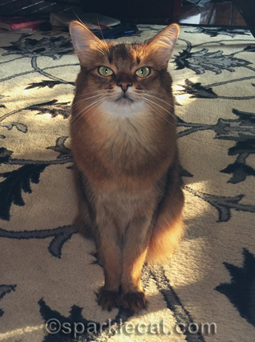 somali cat with sunlight from back and selfie light from front