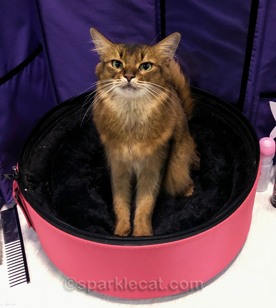 somali cat having a good cat show day