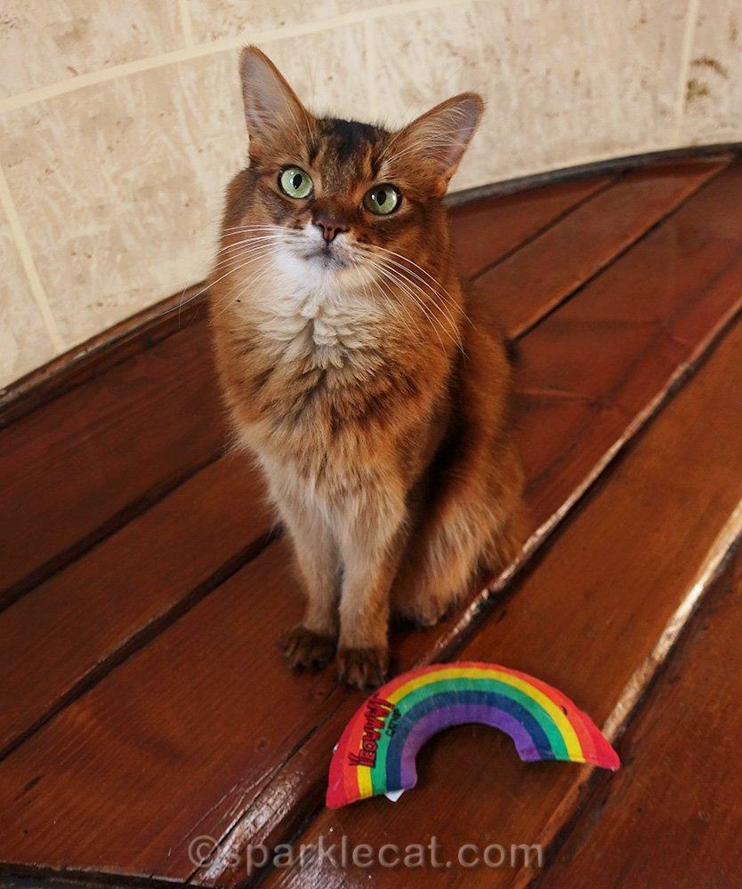 somali cat with catnip rainbow at her feet