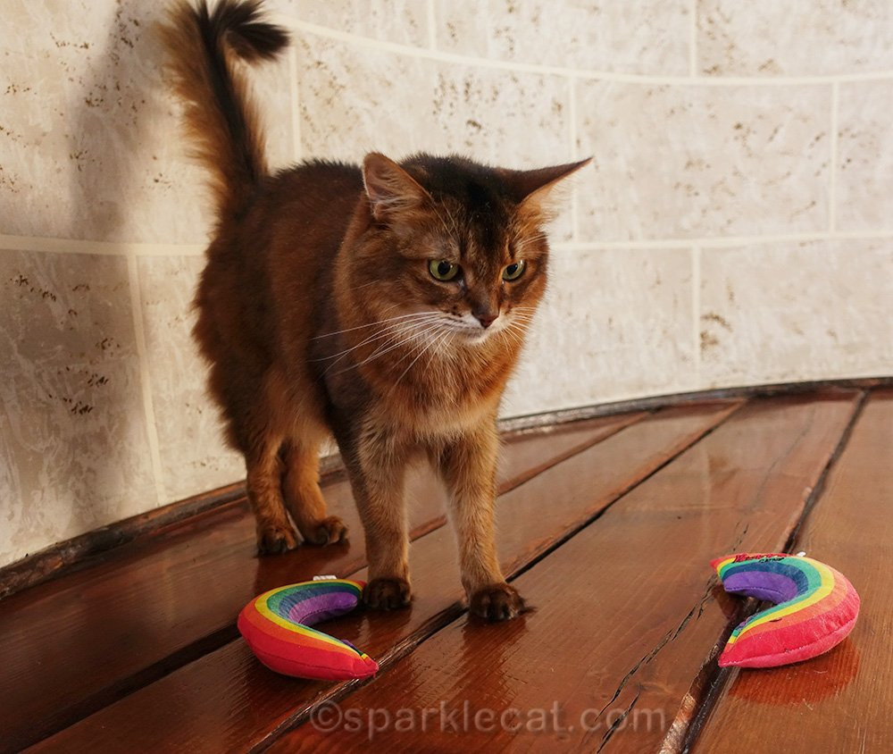 somali cat confused by two catnip rainbows